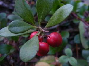 uva ursi plant